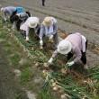 収穫体験4・淡路島・瓦・体験・観光・グルメ・「かわらや」